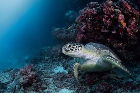 diving turtle at cheval blanc randheli hotel maldives