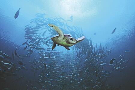 diving turtle at Four Seasons Landaa Giraavaru hotel maldives