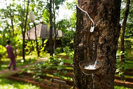 rubber tree at six senses yao noi resort phuket thailand