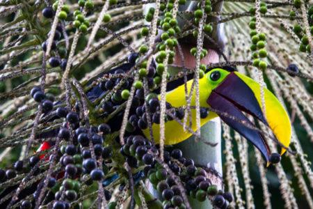 black mandibled toucan at tortuga lodge costa rica