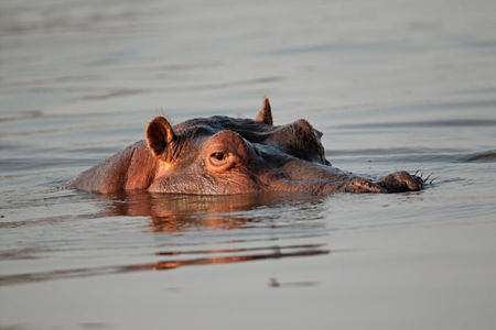hippo in the river at tongabezi hotel zambia