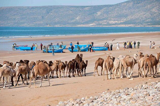 pecheur et chameaux beach animals at paradis plage morocco