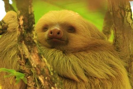 sloth at tortuga lodge costa rica