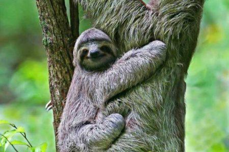sloths at finca rosa blanca resort costa rica