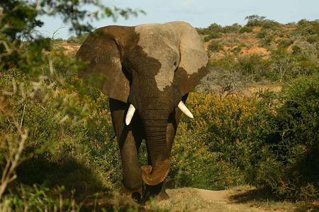 Elephant at Kwandwe South Africa