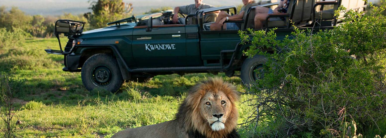Lion sitting in front of Game Viewer at Kwandwe South Africa