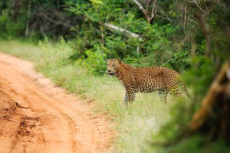 Leopard near Chena Huts Sri Lanka