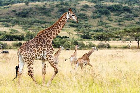 Giraffe at Karkloof Safari Spa KZN South Africa