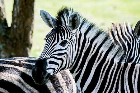 Up close to zebra at Karkloof Safari Spa KZN South Africa